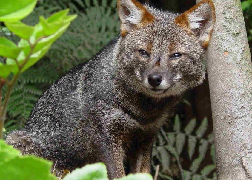 Darvin fox
