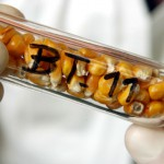 Poslanci EP odmietajú vpustiť geneticky modifikovanú kukuricu na trh EÚ