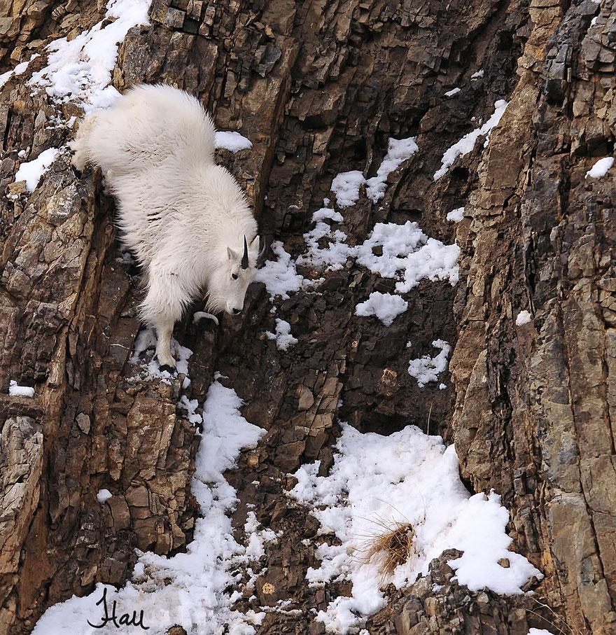 crazy-goats-on-cliffs-10