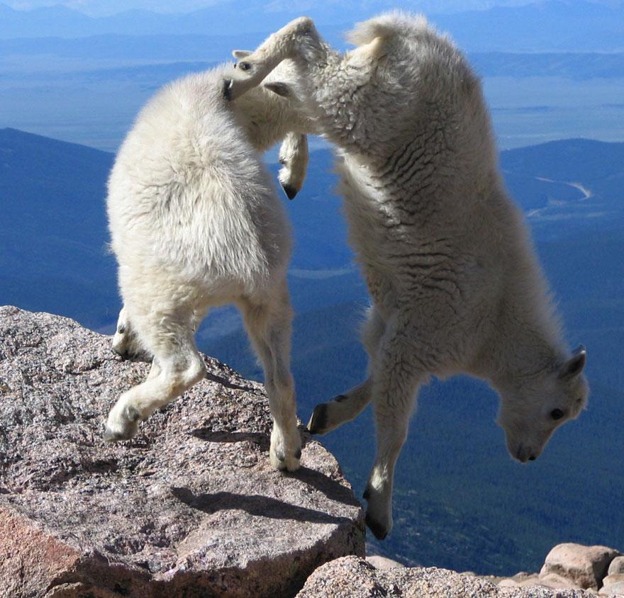 crazy-goats-on-cliffs-14