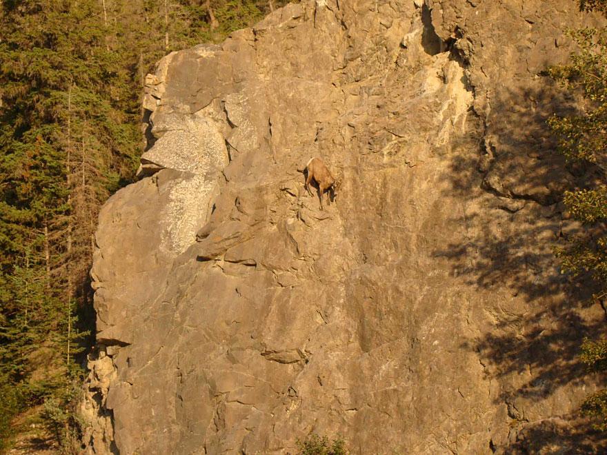 crazy-goats-on-cliffs-15