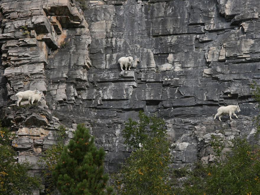 crazy-goats-on-cliffs-6
