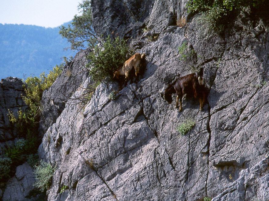 crazy-goats-on-cliffs-9
