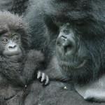Zastavme drancovanie biotopov Gorily horskej vKongu