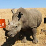 Nosorožce biele čelia najväčšiemu ohrozeniu v modernej histórii
