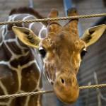 Utratenie žirafy v kodanskej zoologickej záhrade vyvolalo celosvetové pobúrenie