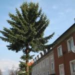 Správne konanie o výrube smreka pichľavého na ulici 9. mája, Svit
