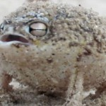 Africká púštna žaba