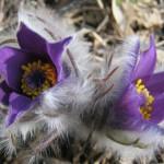 Jarný klenot prírodnej rezervácie Baba