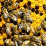 Včely v Európe ohrozuje kontaminovaný peľ