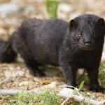 Invázne druhy nepôvodných živočíchov ohrozujú slovenskú prírodu