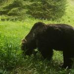Tatranské medvede nežijú iba v Tatrách