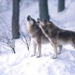 Ministerstvo povolilo odstrel 80 vlkov