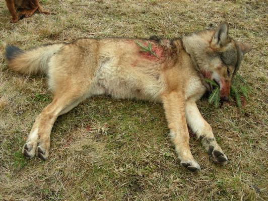 vlk zastreleny