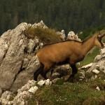 Viac ako tisíc kamzíkov na slovenskej strane Tatier po prvýkrát